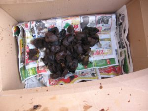 Husking Black Walnuts for Organic Brown Dye