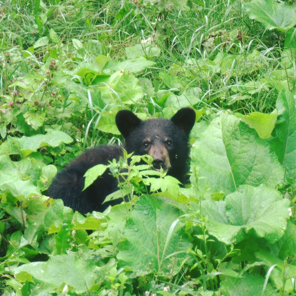 Black Bear in Burdock