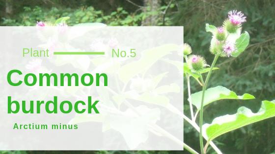 Common burdock - Arctium minus
