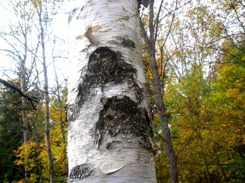 Thunderbirds  on White Birch - Betula Papyrifera