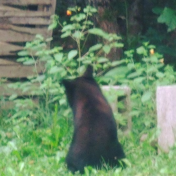 Black Bear Eating Jewelweed