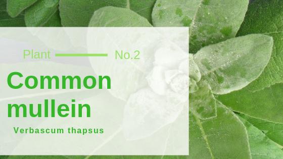 Common mullein - Verbascum thapsus
