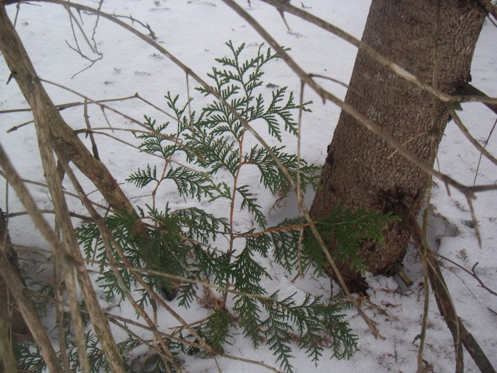 Eastern White Cedar - Thuja Occidentalis