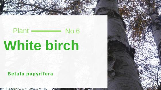 White birch - Betula papyrifera