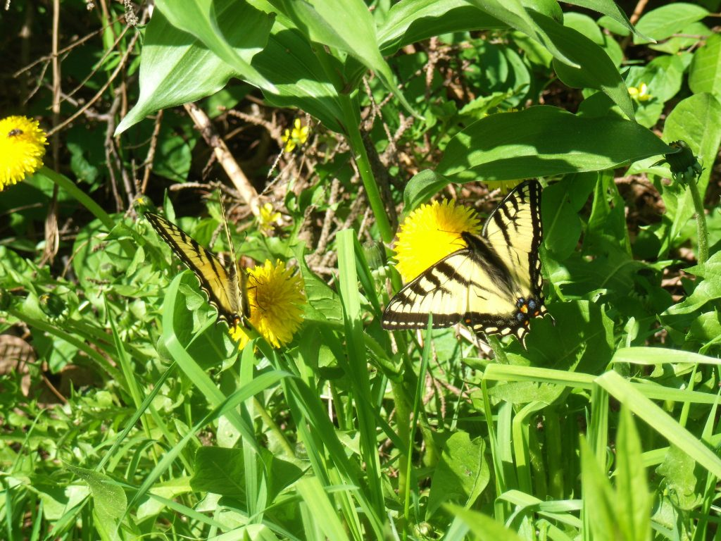 Eastern Tiger Swallowtails on Dandelions