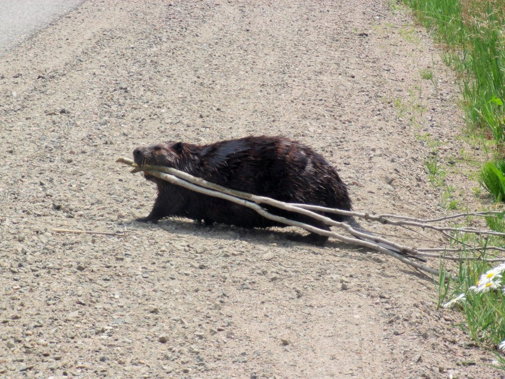 Beaver Carrying Branches
