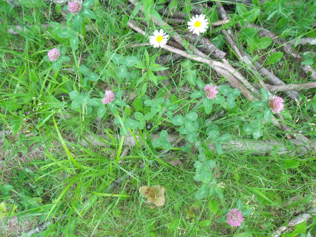 Red Clover and Daisies