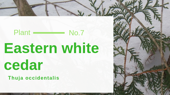 Eastern white cedar – Thuja occidentalis