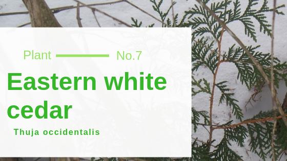 Eastern white cedar – Thuja occidentalis