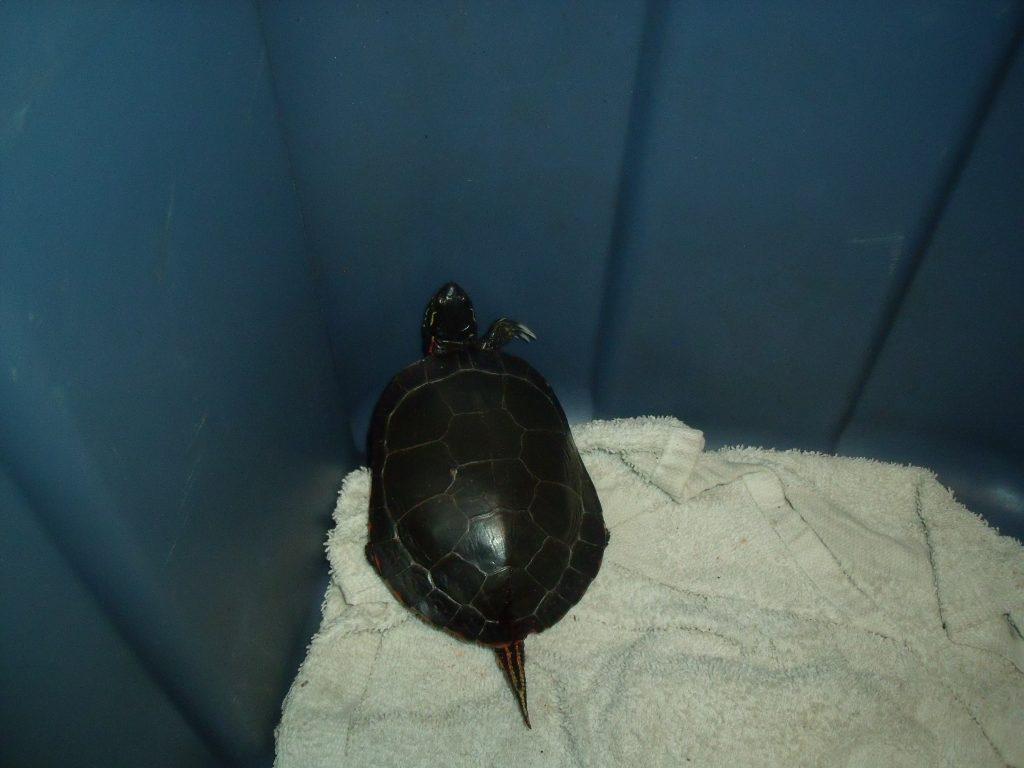 Miskwaadesi The Painted Turtle