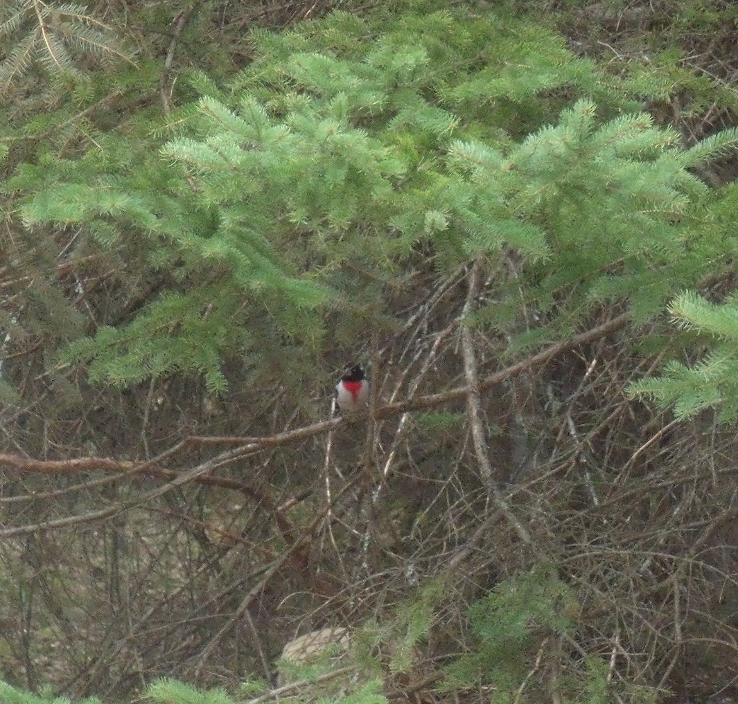 Rose-Breasted Grosbeak in White Spruce