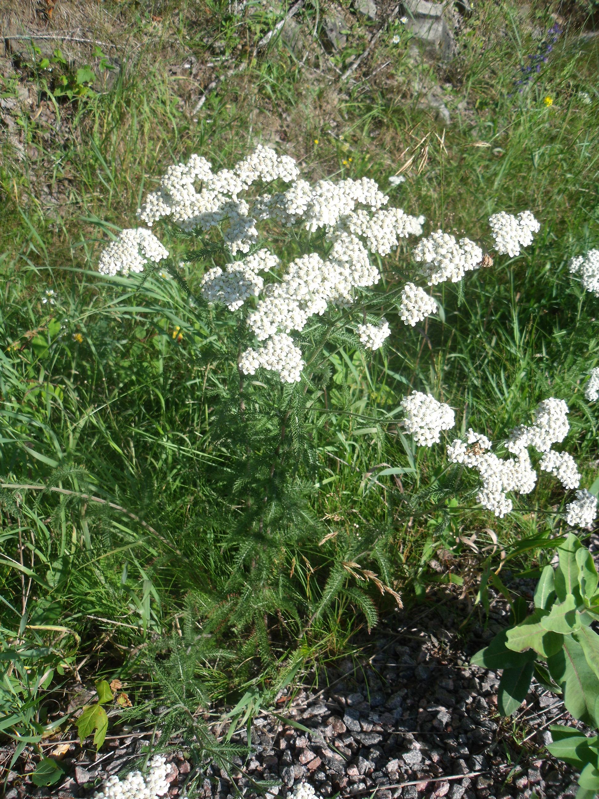 Yarrow - Achillea Millefolium