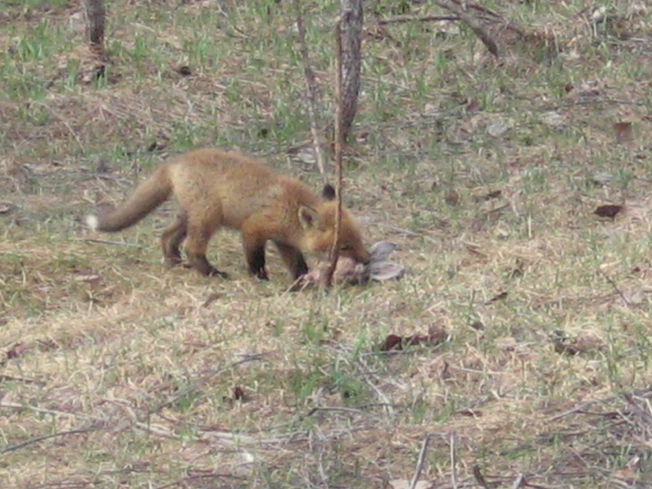 Fox Kit w/Rabbit Head