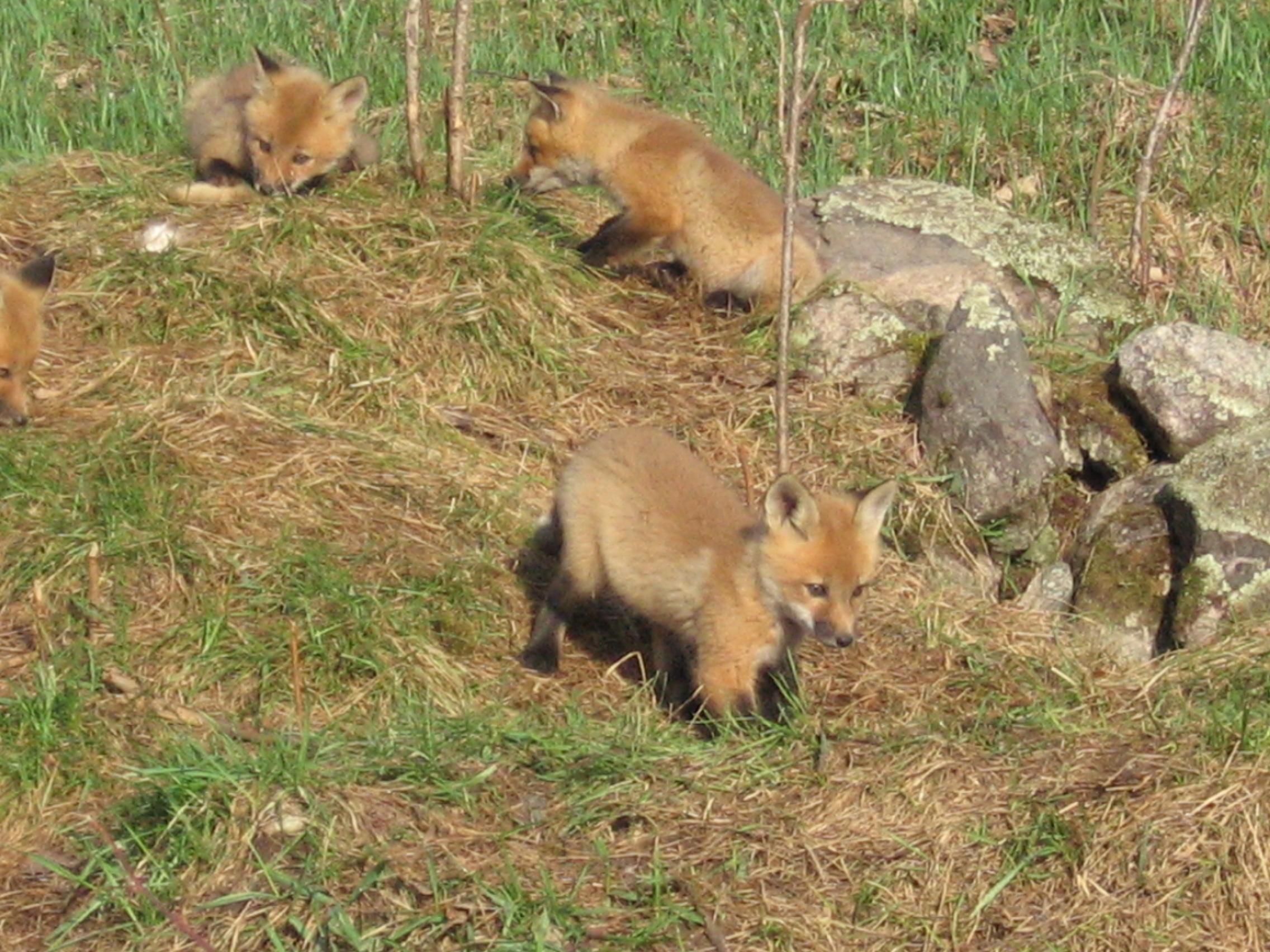 Fox Kits