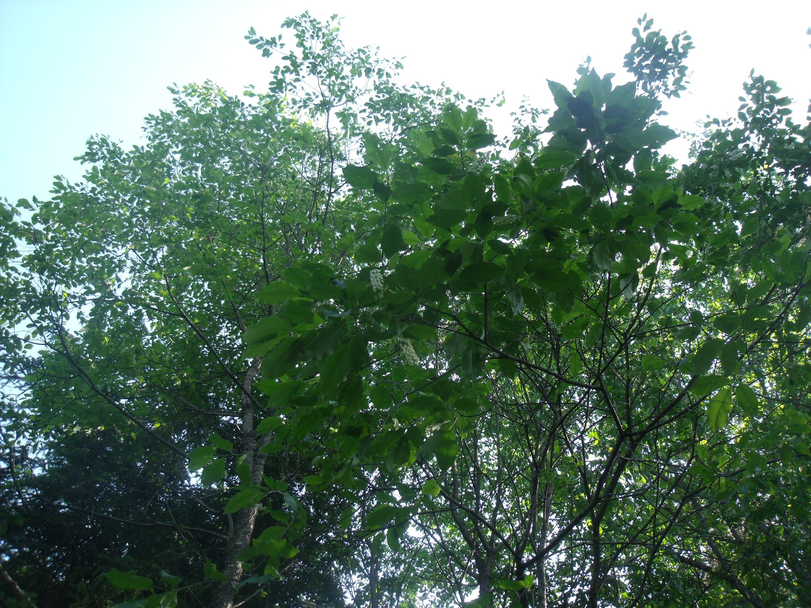 Black Cherry – Prunus Serotina