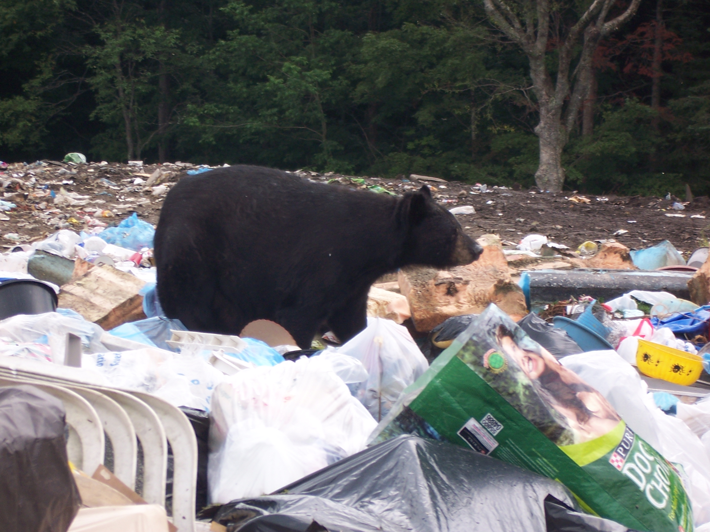 Dump Bear