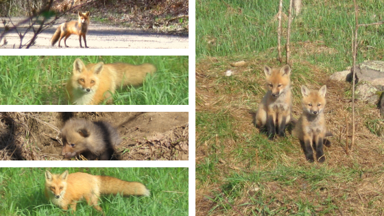 How Red Foxes Use Wild Plants
