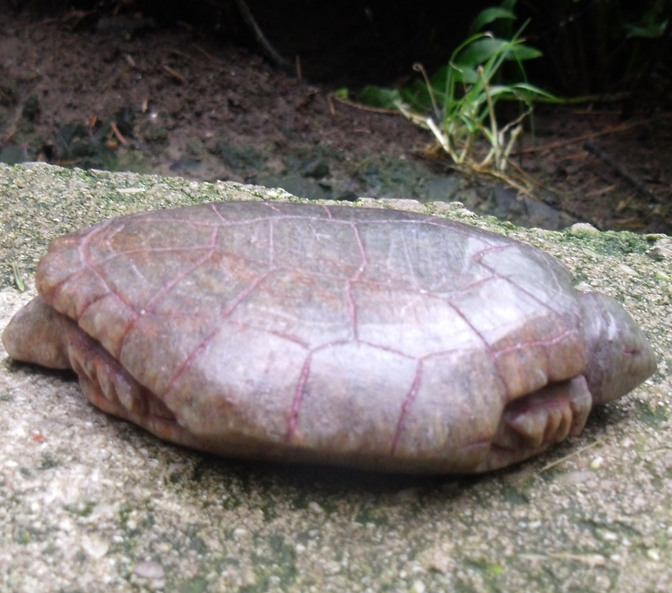 Painted Turtle Soapstone Carving