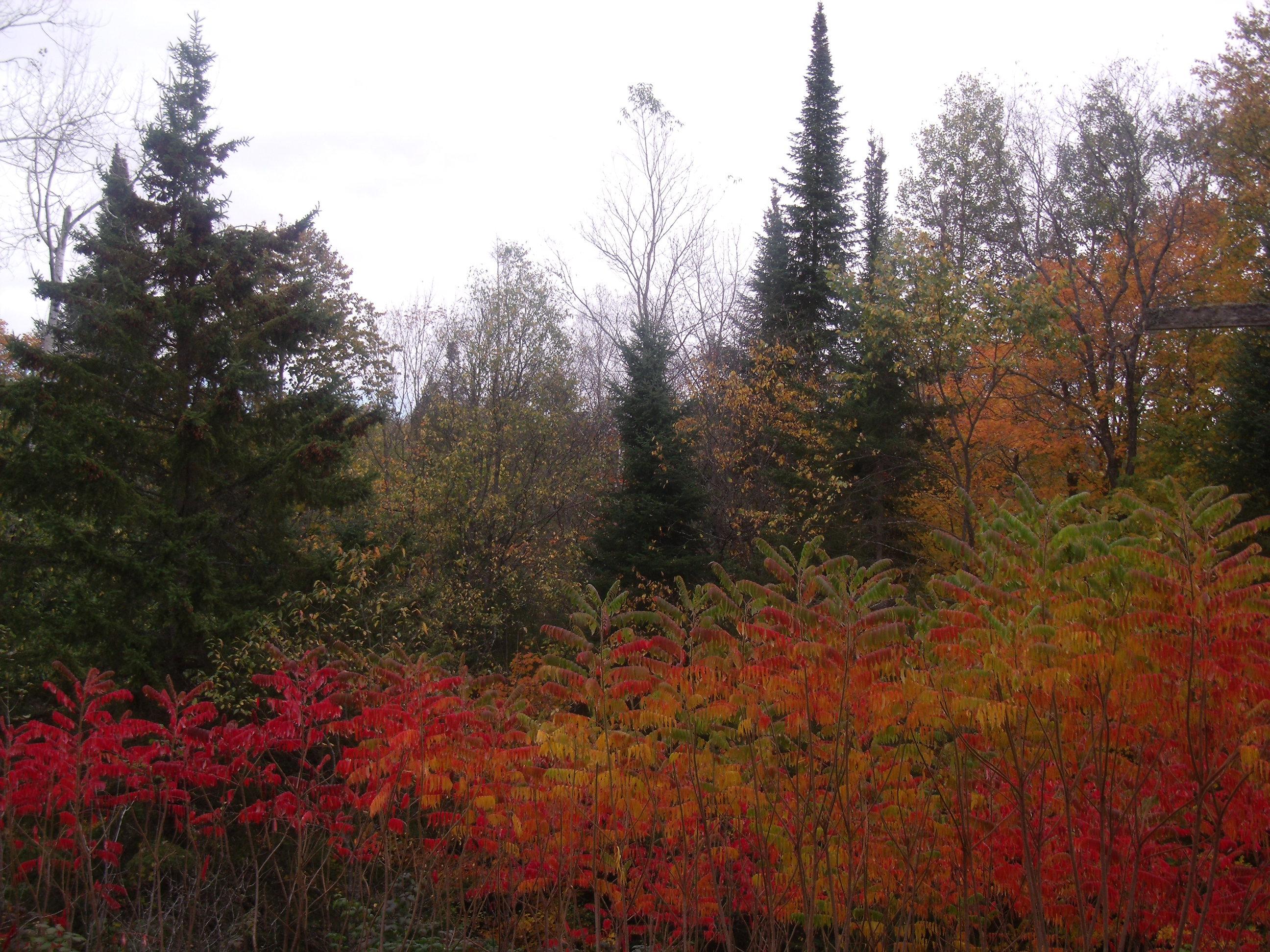 Staghorn Sumac's Brilliant Autumn Colors