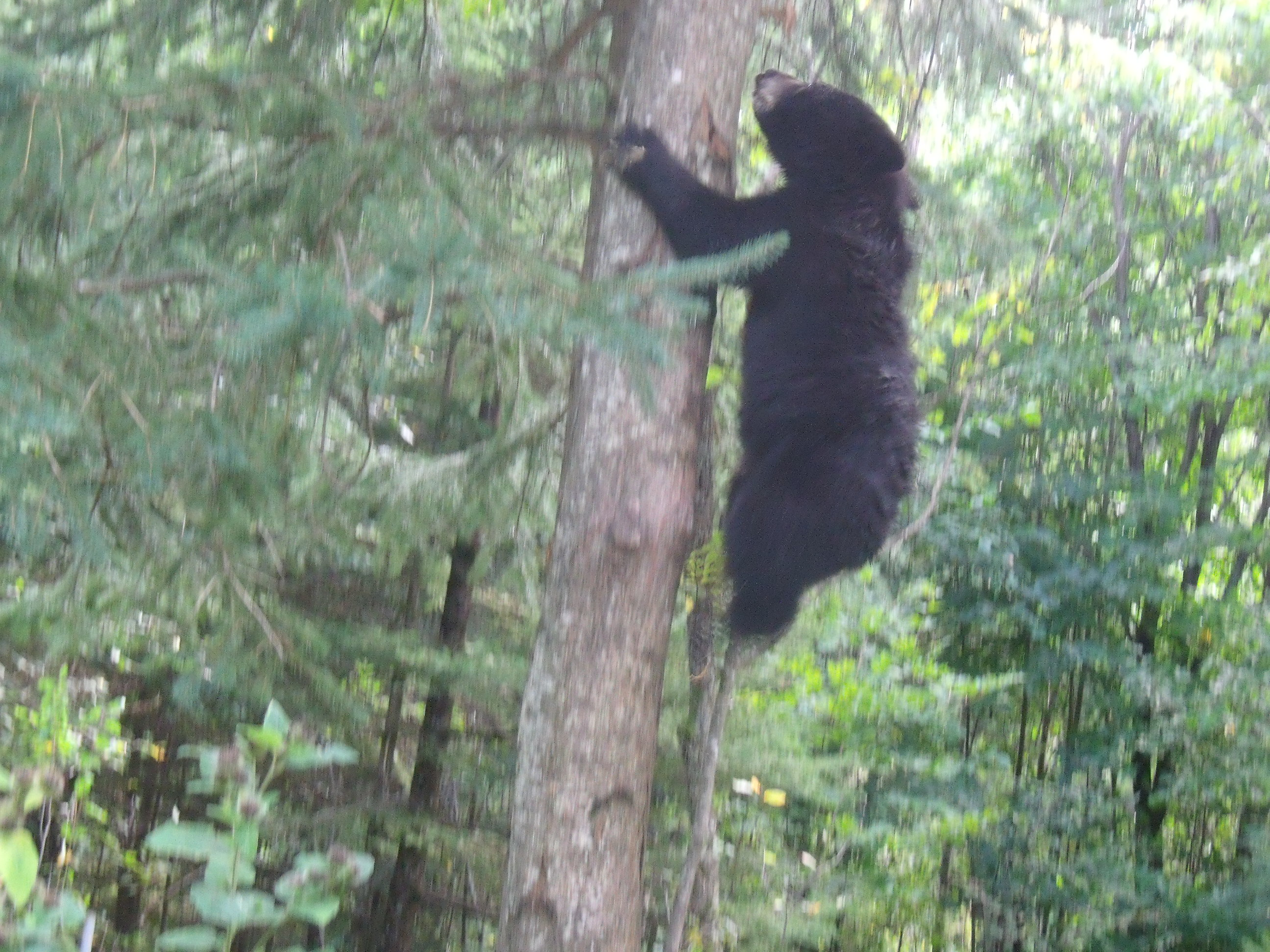Black bear dashing up a maple tree
