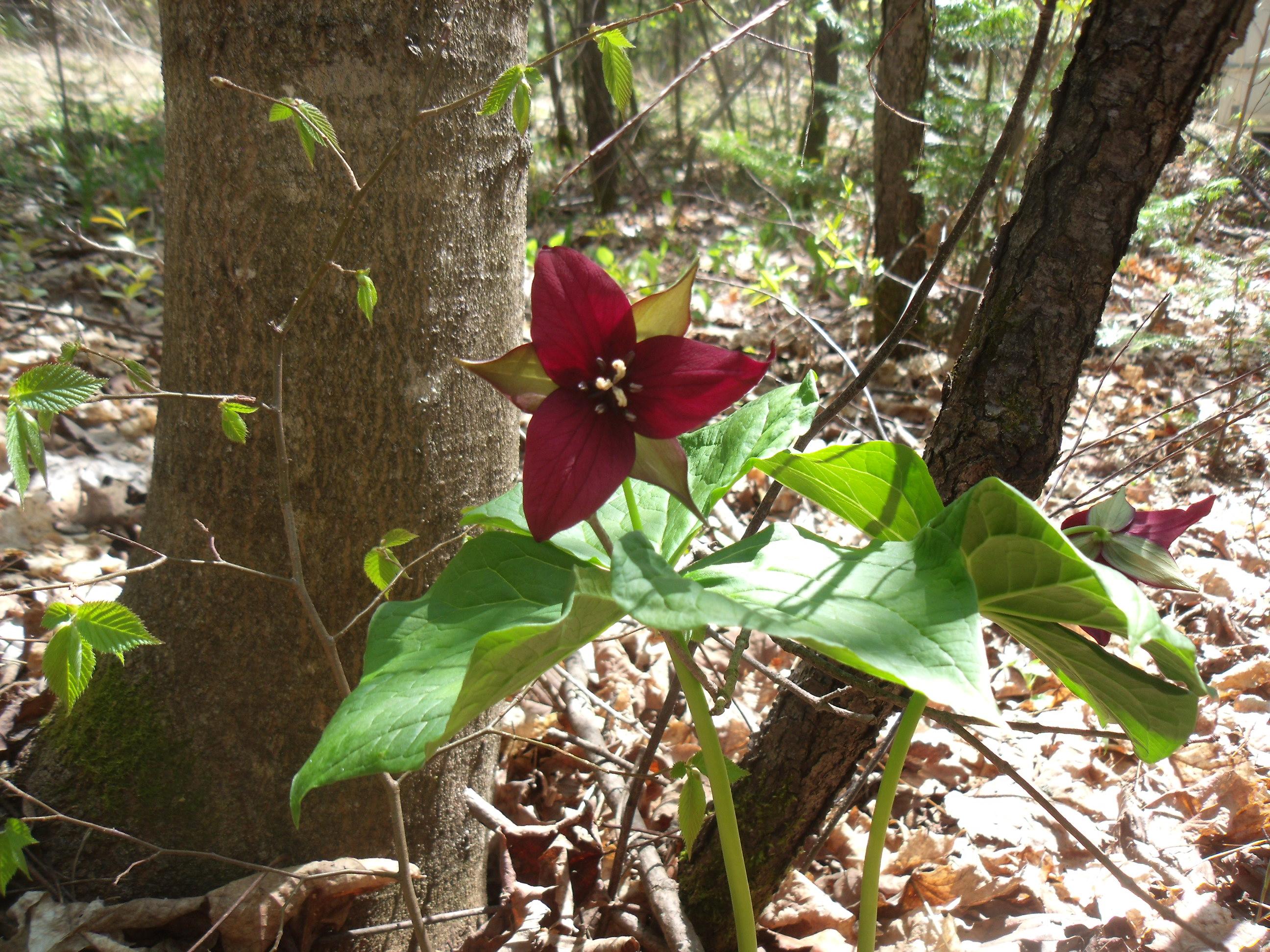 Purple or Red Trillium - Trillium Erectum