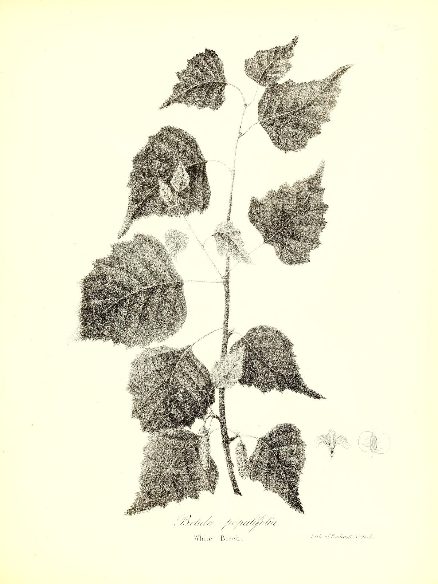 An Old Illustration of White Birch - Betula Papyrifera