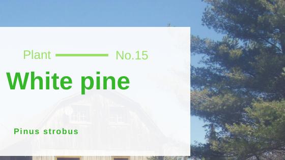 White Pine - Pinus strobus
