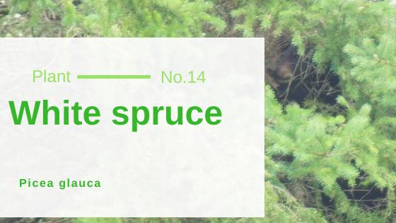 White spruce - Picea glauca