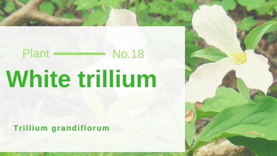 White trillium - Trillium grandiflorum