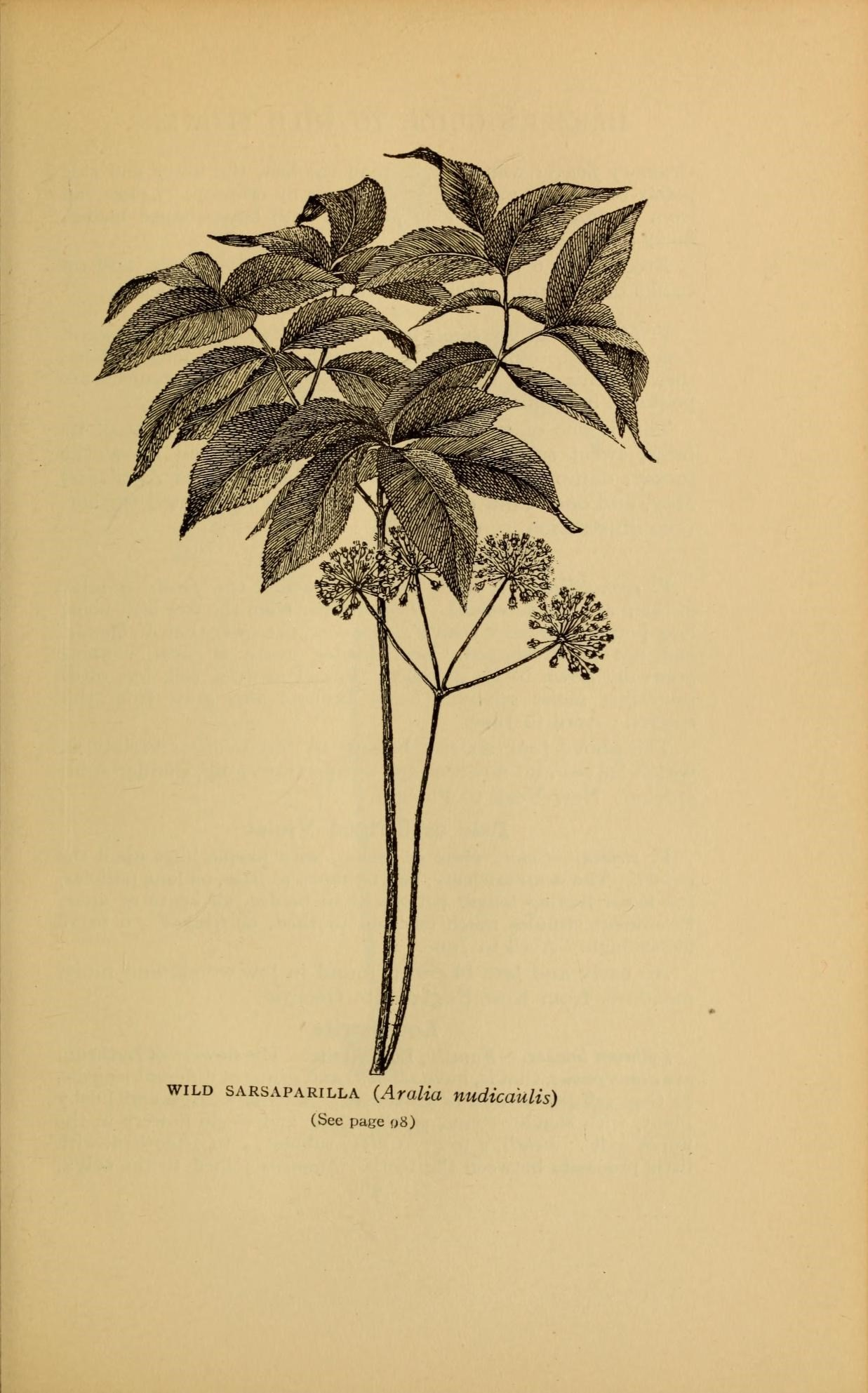 An Old Illustration of Wild Sarsaparilla - Aralia Nudicaulis