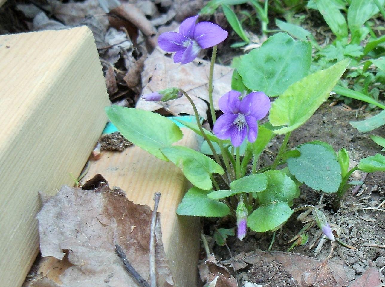 Violet - Viola SPP.