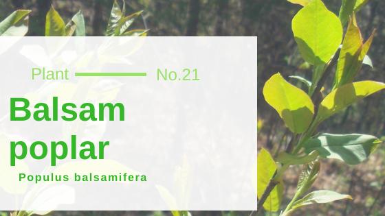 Balsam Poplar - Populus Balsamifera