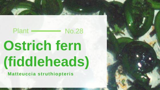 Ostrich Fern (Fiddleheads) - Matteuccia Struthiopteris