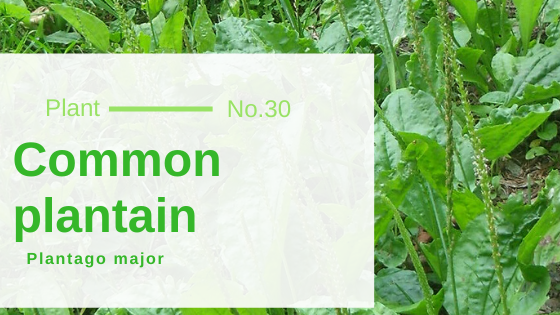 Common Plantain - Plantago Major