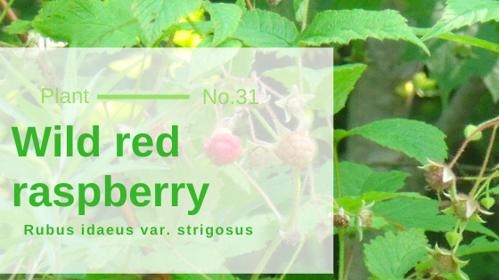 Wild red raspberry - Rubus idaeus var. strigosus
