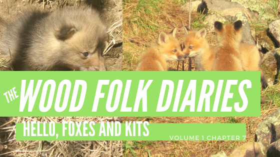 The Wood Folk Diaries: Volume 1, Chapter 7: Hello, Foxes and Kits