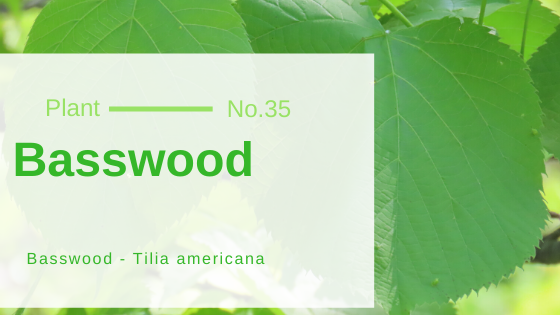 Basswood - Tilia americana