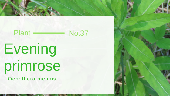 Evening primrose - Oenothera biennis