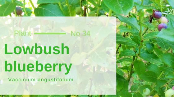 Lowbush blueberry - Vaccinium angustifolium