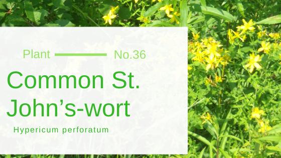 Common St. John's-wort – Hypericum perforatum