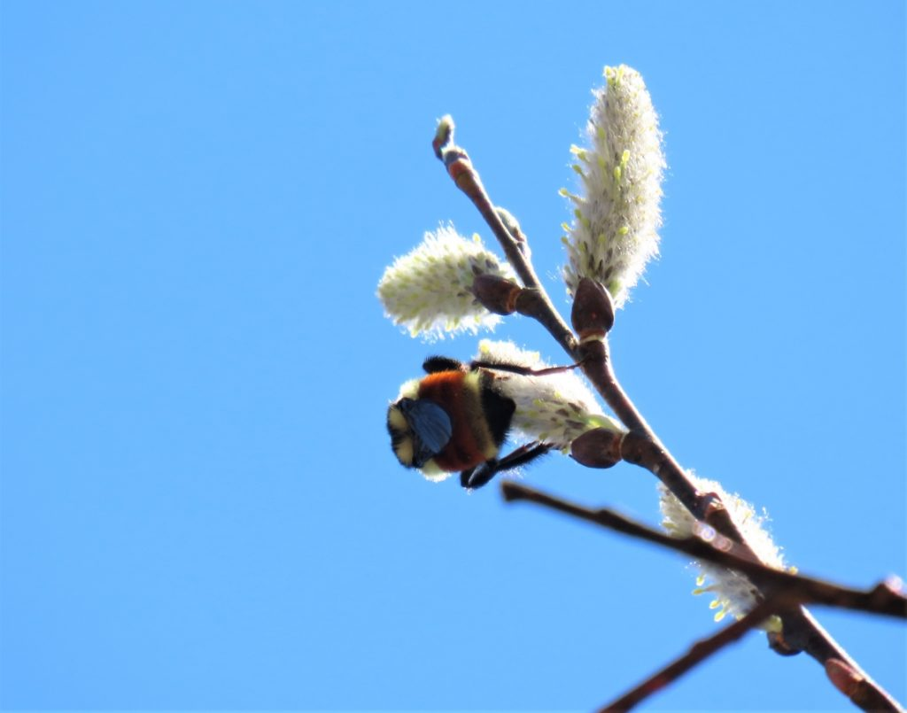 Bee Feast - Willow - Salix SPP. Catkin