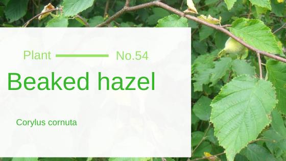 Beaked Hazel - Corylus Cornuta