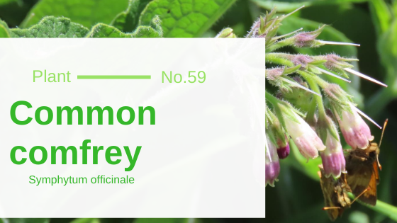 Common Comfrey - Symphytum Officinale