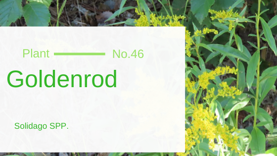 Goldenrod - Solidago SPP.