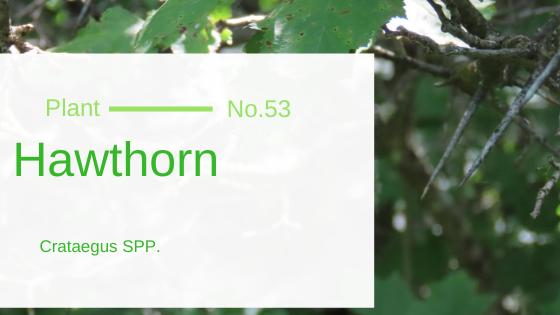 Hawthorn - Crataegus SPP.