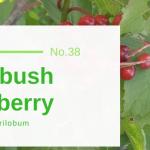 Highbush Cranberry - Viburnum Trilobum