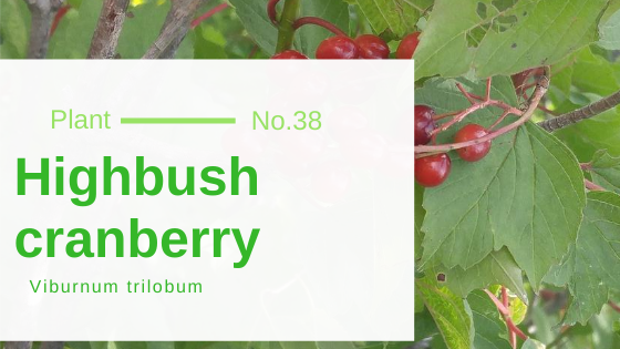 Highbush Cranberry - Viburnum Trilobum