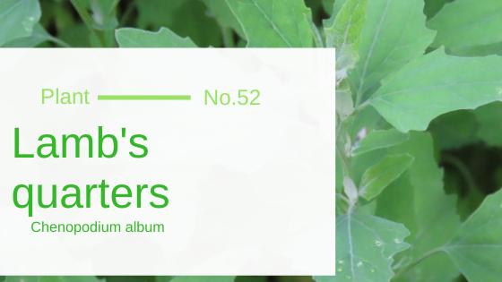 Lamb's Quarters - Chenopodium Album