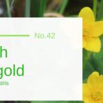 Marsh Marigold - Caltha Palustris