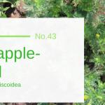 Pineapple-weed - Matricaria Discoidea